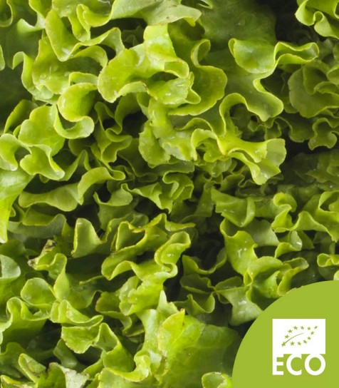 Lechuga Batavia Ecológica